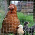 Bantam Hen Chick Poultry Chicken Pekin Bird