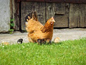 moeder kloek met kuikens warmteplaat
