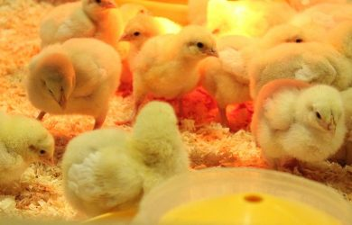 warmtelamp voor kuikens