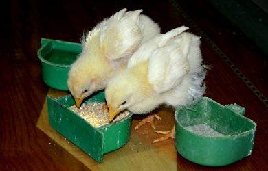 wat eten kuikens